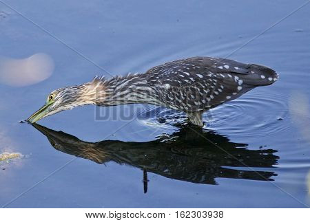 Isolated Picture With A Funny Black-crowned Night Heron In The Water