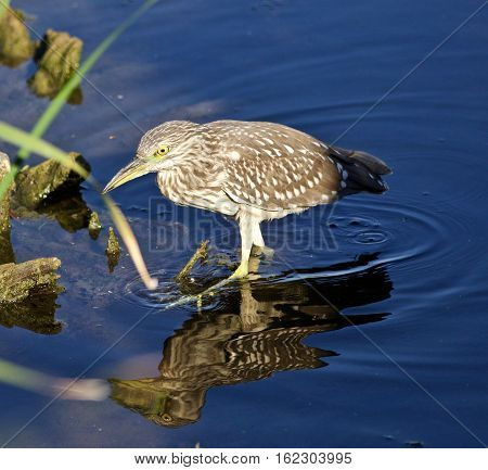 Isolated Picture Of A Funny Black-crowned Night Heron Walking In The Water