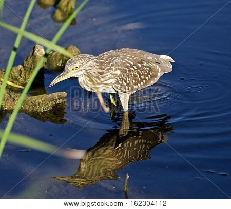 Isolated Image Of A Funny Black-crowned Night Heron Walking In The Water