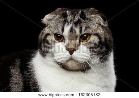 close-up portrait of grumpy cat of scottish fold breed on isolated black background, small ears and round head
