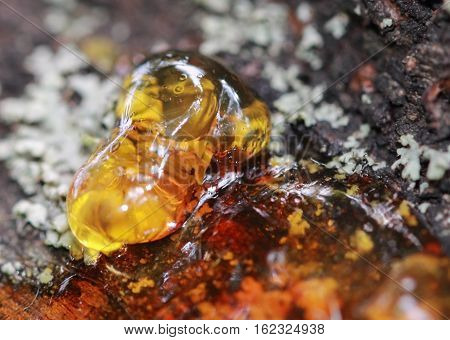 Solid amber resin drops on a tree trunk close up