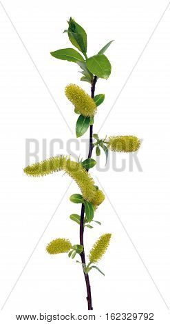 Salix branch isolated on a white background