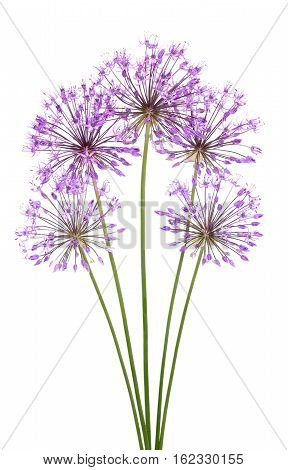 Allium flowers isolated on a white background