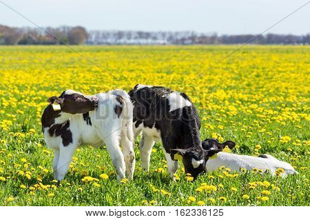 Three newborn calves in spring meadow with blooming yellow dandelions