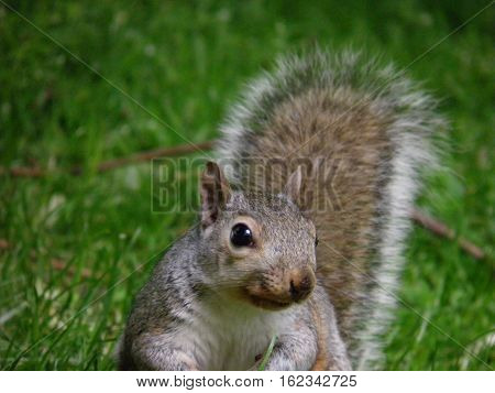 Little squirrel in Hyde Park, London, England