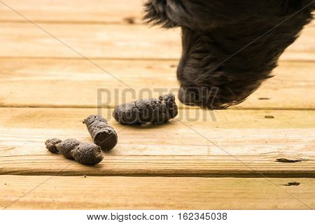 Dog poop left on the wooden boards of an outside deck or patio