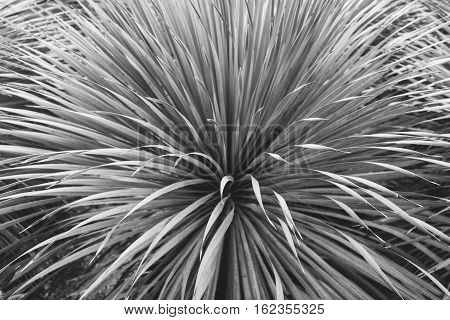 Wild Plant Of The Agave Leaves Agave In The Macro. Shallow Focus