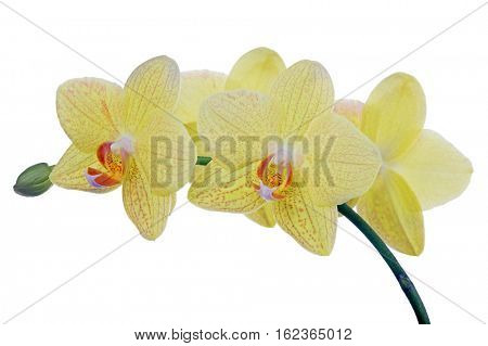light yellow orchid flowers isolated on white background