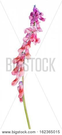 lilac and red flower isolated on white background