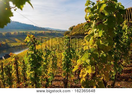 Autumnal Vineyard At The Moselle In Germany