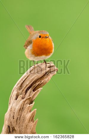 Beautiful small bird with a orange feathers
