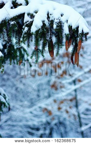 Spruce branches covered with snow in winter