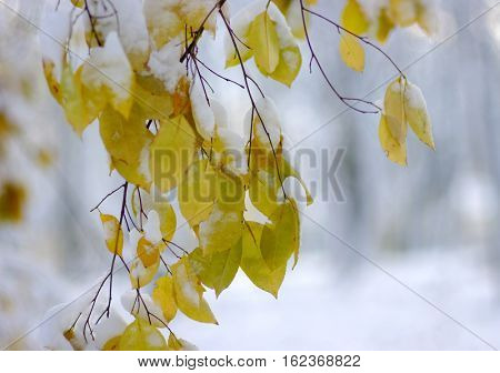 Yellow leaves in snow. Winter Background