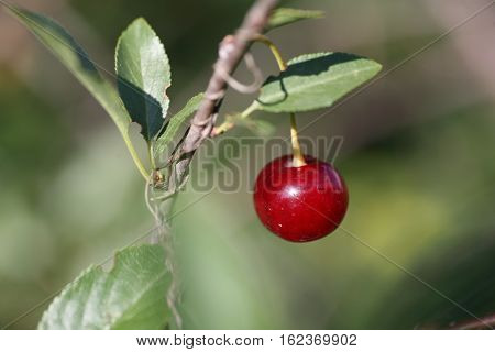 Red ripe cherries on a tree branch on green the background. Selective focus.