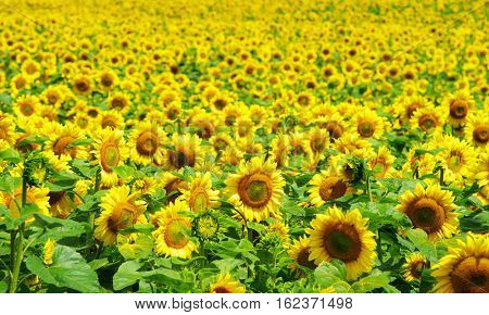 Blooming field of a sunflowers