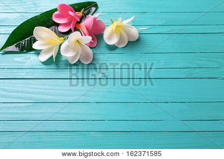 White and pink tropical plumeria flowers on turquoise wooden background. Selective focos. Place for text.