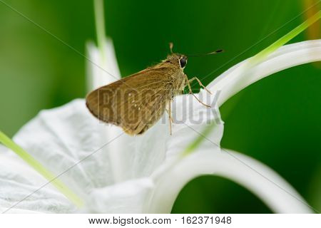 Thailand Butterfly On White Flower