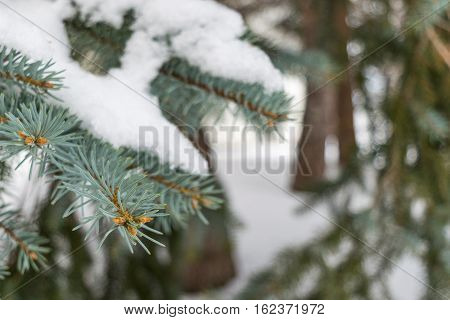 Pine needles after a cold fresh winter snowfall