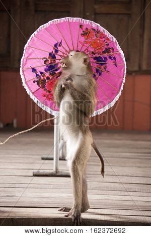 Macaques in circus fashion shows with an umbrella Circus performance Macaque . Thailand Phuket