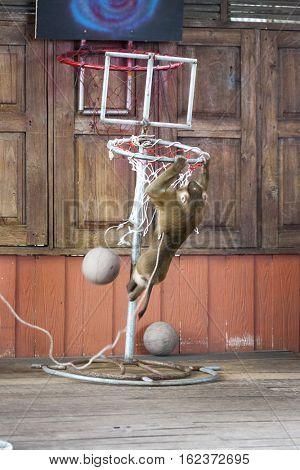 Circus performance Macaque playing basketball. Thailand Phuket.