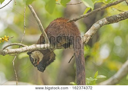 Black Giant Squirrel in a Tree in Karizanga National Park in Assam India