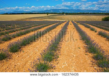 Fields With Young Lavender Plants In The Provence