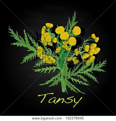 Tansy Herb Vector Illustration