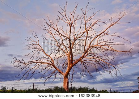 This outstanding tree with branches outstretched in the fading light of sunset.