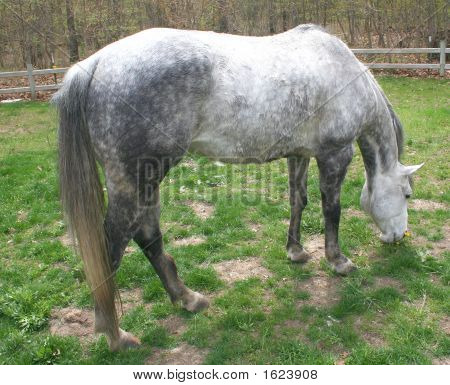 Horse Bending Down To Eat In Field