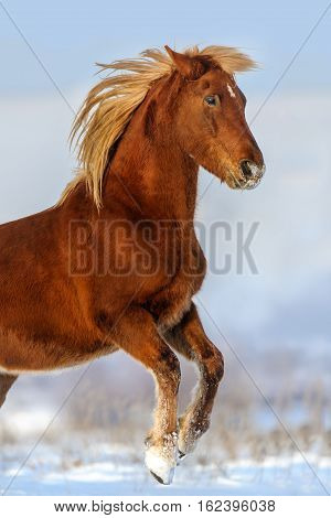 Red horse with long blond mane rearing up