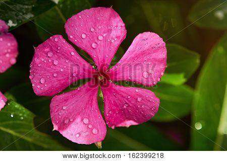 Macro of vinca flower with morning dew drops