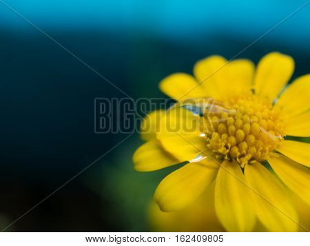 Close up water drop on carpel daisy beautiful yellow flower for spring background. selective focus.