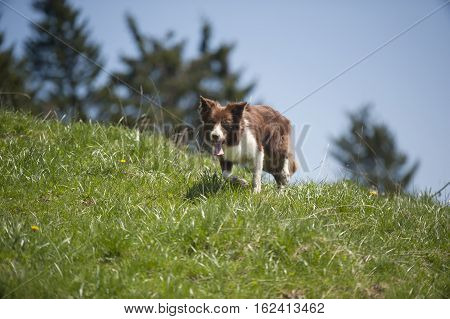 Border Collie walking in recognizable movement for a breed.