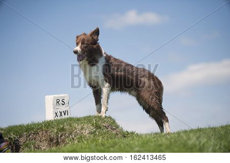 Border Collie on top of the hill. It seems like he is mourning for the dead owner.
