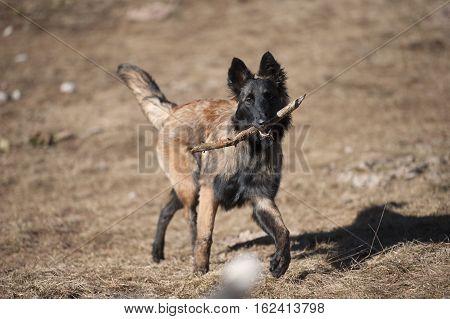 Shepherd puppy playing and retrieving a stick. Belgian Shepherd (long hair)