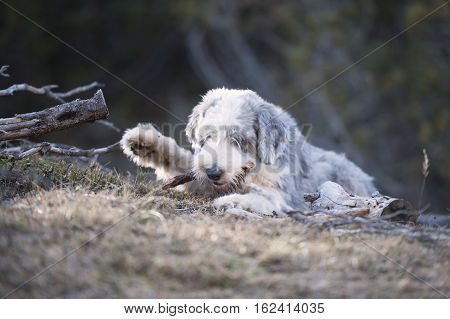 Fluffy dog bite a wood stick in forest. He helps his owner cut trees and stack firewood. Dog waves with his paw.