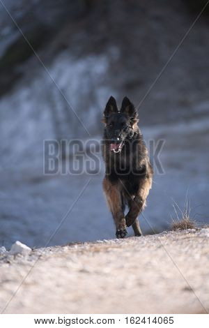 Happy puppy Belgian Shepherd running as fast as he can, Tervuren