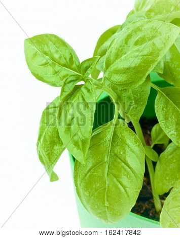 Leafs of Fresh Green Lush Foliage Basil with Water Drops in Green Pot Cross Section on White background