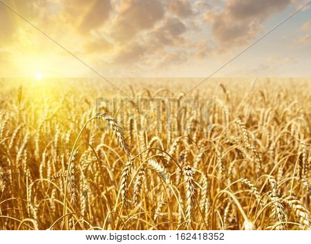 Golden wheat field with sky with clouds and sun on sunset in background. Meadow of wheat. Nature composition. Beautiful summer landscape on sunset. Agriculture. Wheat field ready for harvest