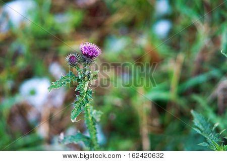 flower of a Thistle single flowered Thistle burdock