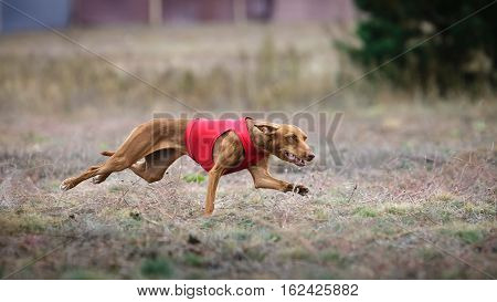 Coursing. Dog Cirneco dell'Etna pursues bait in the field. Close-up poster