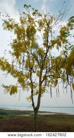 Beautiful flowers the river and the mountain Cassia Fistula is abstract of love and romantic