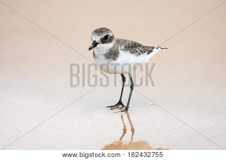 Lesser Sand Plover. Charadrius mongolus. beautiful bird on the coast