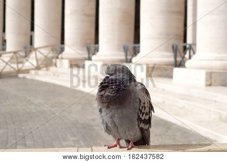 Beautiful pigeon sleeping in the San Peter Square, Rome, Italy
