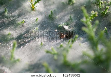 Close up at spider on cobwebs on the grass with dew drops - selective focus, water drops on web in forest