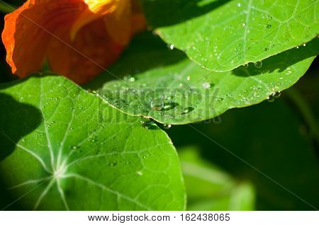 Close-up exotic plant leaf with water drops , Beautiful green leaf texture with drops of water