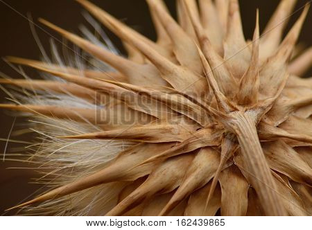 Back view of dry artichoke flower, cynara cardunculus