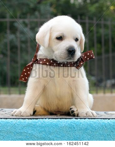 The Labrador Puppy On A Blue Background