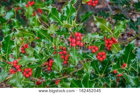 Closeup of holly tree with lots of red berries good background and very festive.