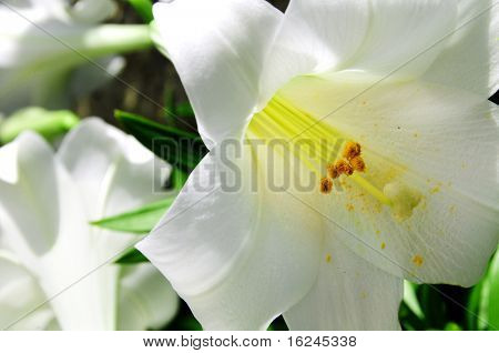 close up of some white liliums